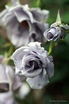 Adorable beautiful grey rose..