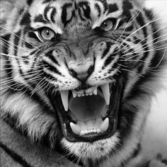 Angry Tiger - Bic Ballpoint Pen on paper. I have always loved tigers, I love felines and decided to draw my first tiger ever a year ago, this is my seco. Tiger Drawing, Tiger Art, Tiger Painting, Siberian Tiger, Bengal Tiger, Beautiful Cats, Animals Beautiful, Art Tigre, Animals And Pets
