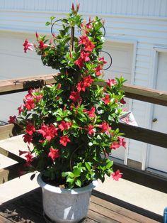 Thinking I might want a mandevilla this year. aloha dark red or ruby