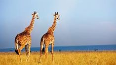 Giraffes in the Masai Mara National Reserve in Kenya, Africa Girl Drawing Easy, Easy Drawing Steps, Giraffe Habitat, Animals And Pets, Funny Animals, Wild Animals, African Giraffe, Giraffe Family, Art Activities For Kids