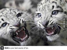 Preciosos leopardos blancos.