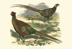 Bohemian Pheasant Print at Art.com