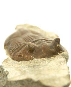 Trilobiet - Asaphus expansus - 70 mm