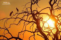 https://flic.kr/p/JT2zkT | Yellow-billed Stork | Cicogna beccogiallo, Tantalo africano (Mycteria ibis), Yellow-billed Stork  Chobe NP, Botswana