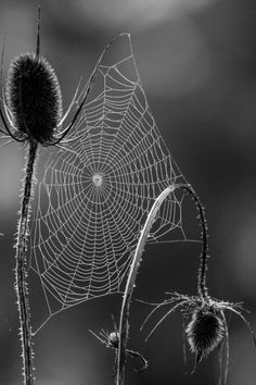 Spiderweb | BKS