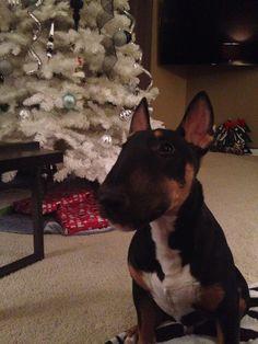 Vinny the bull terrier, too cute!