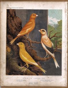 Birds - Norwich Canaries: Original 1880 Chromolithograph
