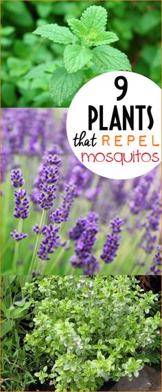 9 Plants that Repel Pesky Mosquitos.  What plants to plant in your yard that will keep the insects away.
