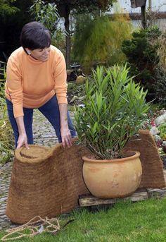 Oleander mit Kokosmatte einwickeln