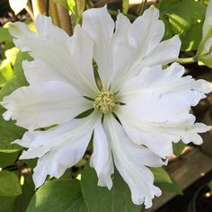 Toki Clematis ~bloom came out with ruffled margins! Exotic Flowers, Amazing Flowers, White Flowers, Beautiful Flowers, Simply Beautiful, Clematis Vine, White Clematis, Bloom, Climbing Vines