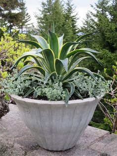 The large Lunaform urn looked wonderful with the agave and Helichrysum. Helichrysum is exceptionally easy to grow and doesn't need much fertilizing.