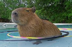 I got Capybara! Which Pet Should You Actually Have?