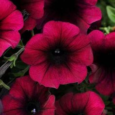 "Annual The newest breeding in this popular Wave spreading petunia series brings a depth of color we haven't seen before in seed petunias. The Velour ""sub-series"