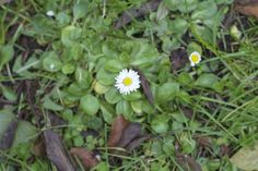 Daisy-15 Edible Plants to Forage in Your Own Back Yard   And Here We Are... #foraging #wildfood #self-sufficiency
