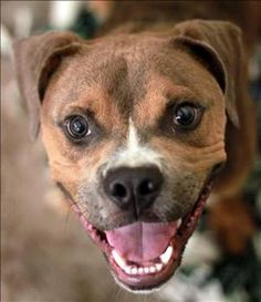 Panzer is an adoptable Boxer Dog in Lexington, KY Hi! my name is Panzer...poor guy has been in the shelter for a few months and deserves a good home!
