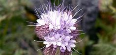 PHACELIA TANACETIFOLIA  1 SQM A valuable companion plant with fluffy lavender flowers that are a magnet for bees and other good bugs such as hoverflies and parasitic wasps. It is highly valued in Europe and USA for its long-lasting, high quality nectar producing flowers.