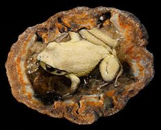 "According to official and reputable sources there have been over 90 recorded unexplained cases of amphibians being found alive but fully encased in coal pockets or stone geodes. Of these cases, 40 involved frogs or toads.  The most well respected case is documented in the Reader's Digest book – ""Mysteries of the Unexplained"". There is a pattern to the various discoveries. In most cases the frog is discovered in a"