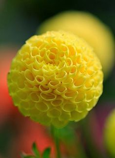 Yellow dahlia... Great ball of fire by amazon2008 on Flickr...