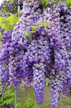 Thick clusters of wisteria signal the arrival of spring.