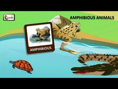 Amphibians - Land and water animals   Animals video for kid   Kindergarten learning videos playlist