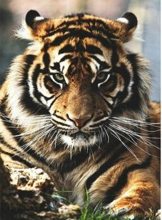 Voici un tigre !
