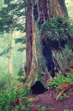 Redwood Forest Detail © Vincent James. Redwood National and State Parks , California , United States