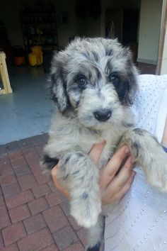 Aussiedoodle puppy.  Looks just like Mel!