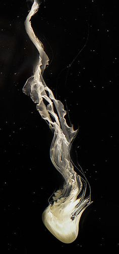 A photo of a long white jellyfish underwater against a dramatic black background by Lynn Langmade