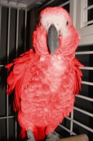Exotic Red Factor African Greys For Sale - Home
