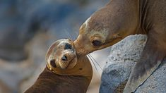 galapagos sea lion tui de roy/minden pictures | Galápagos sea lion mother and pup on Floreana Island, Ecuador (© Tui ...