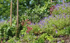Stauden und Gehölze zur Hangbepflanzung -  Hangflächen im Garten lassen sich mit den richtigen Stauden und Gehölzen sowohl befestigen als auch attraktiv gestalten.  Wir stellen Ihnen die passenden Pflanzen vor.