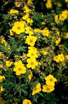 Potentilla fruticosa 'Jackman's Variety', full/part sun, deciduous, yellow flowers spring summer Front Flower Beds, Planting, Gardening, Back Gardens, Hedges, Yellow Flowers, Coastal, Spring Summer, Moon