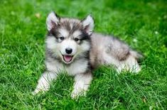 People oftentimes want something that can suit in their family a pet that could become a perfect indoor companion and there is one breed that is capable and its name is miniature husky. Husky Mix, Husky Breeds, Dog Breeds, Alaskan Klee Kai Puppy, Husky Training, Miniature Husky, Husky Facts, Mini Huskies, Husky Adoption