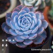 echeveria apus - Yahoo Image Search Results