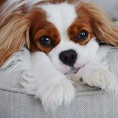The Cavalier King Charles Spaniel is a direct descendant of the King Charles Spaniel and is named after King Charles II. King Charles Puppy, Cavalier King Charles Dog, King Charles Spaniels, Cavalier King Spaniel, Cute Puppies, Cute Dogs, Dogs And Puppies, Doggies, Spaniel Puppies