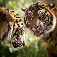 Tiger Stare Down | by Paul E.M.