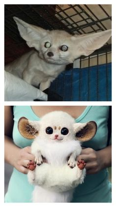 Top: Real inari fox (fabulous, by the way). Bottom: FAKE. How can you not tell...?