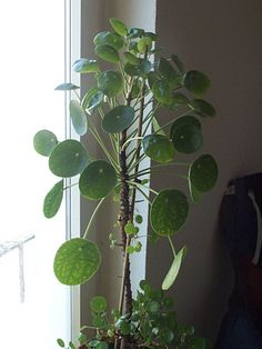 Pilea peperomioides – Ufopflanze | the floralist | Flickr