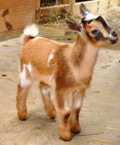 Identifies what a polled goat is, and how the genes work so that you obtain either polled or horned goats.