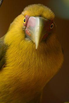Foto araçari-banana (Pteroglossus bailloni) por Luiz Moschini De Souza | Wiki Aves - A Enciclopédia das Aves do Brasil