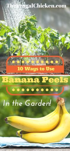 Use banana peels in your garden instead of throwing them away! Here's 10 ways to use banana peels in your garden. Easy projects you can do today! From FrugalChicken