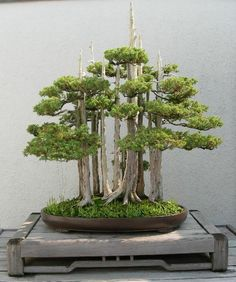 bonsai forest, angels on the head of a pin