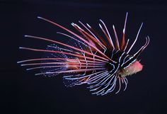 The Clearfin Lionfish, Tailbar Lionfish, Radiata Lionfish or Radial Firefish, is a carnivorous, ray-finned fish with venomous spines that lives in the Indian and western Pacific oceans.