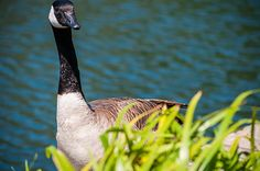 """""""Palace Lake Goose""""  Click the """"pinned from"""" link to purchase this print."""