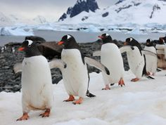 Pingüino Gentoo - Antartida - Andrés Bonetti