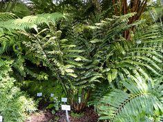 Дидимохлена усеченная - Didymochlaena truncatula, дидимохлена фото