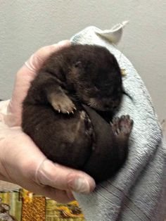 Binghamton Zoo's Otter Triplets!  3 otter
