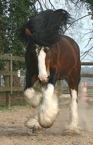 Shire Horse I would love a beast like this!!!