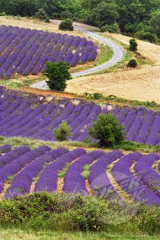 Lavender Field, Puimichel, Provence, France                                                                                                                                                     More