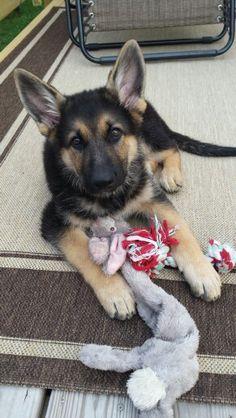 """""""Rex"""" German shepherd puppy 11.5 weeks."""